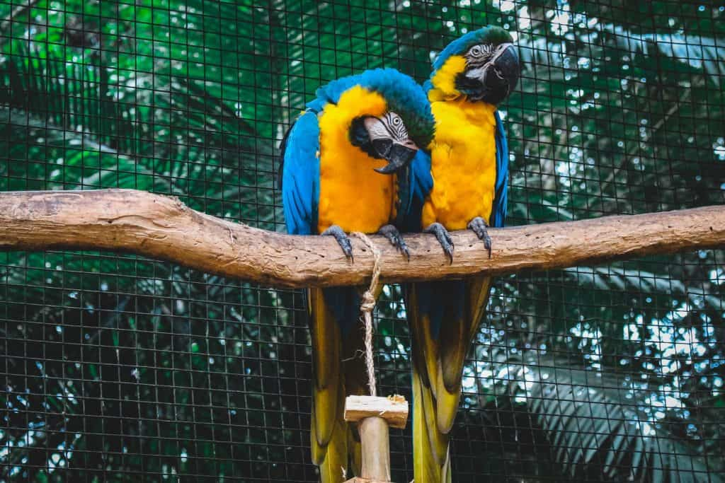 Two blue and yellow Macaws on tree